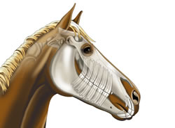 The most complete on-line directory of horse related businesses in New England    Jump to a state MA, CT, ME, RI, NY, VT, NH  MacPhail Equine Dentistry